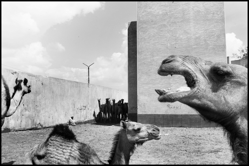 Camels at a camel market. Egypt, Birqash. April 22, 2011 © Moises Saman / Magnum Photos